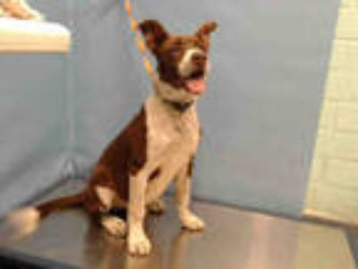 Adopt CHOCOLATE a Brown/Chocolate - with White Pointer / Mixed dog in Gardena