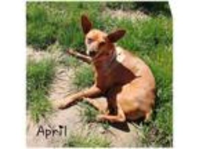 Adopt April a Miniature Pinscher