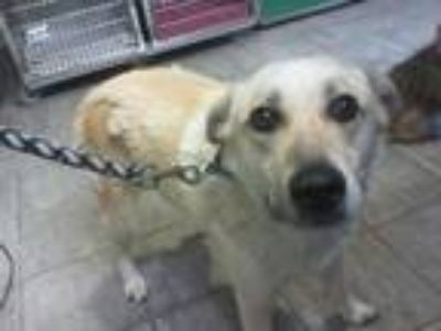 Adopt SOX a Labrador Retriever, German Shepherd Dog