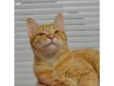 Adopt Kung-Fu a Domestic Shorthair / Mixed cat in Alpharetta, GA (25253053)