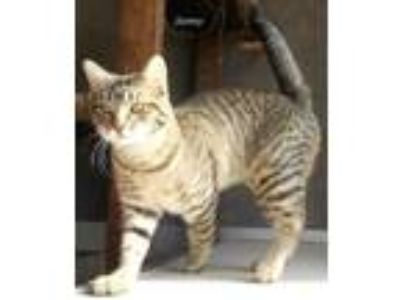 Adopt Sonny a Gray or Blue Domestic Shorthair / Domestic Shorthair / Mixed cat