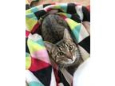 Adopt Pheonix a Domestic Short Hair