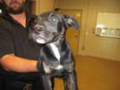 Adopt 41685230 a Black American Pit Bull Terrier / Mixed dog in Arlington