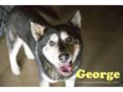 Adopt George a Husky, German Shepherd Dog