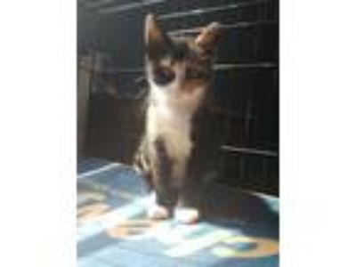 Adopt Ember a Calico or Dilute Calico Calico (short coat) cat in Norristown