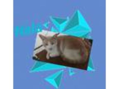 Adopt Nala a Cream or Ivory Domestic Shorthair (short coat) cat in Harrisburg