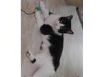 Adopt Daisy Mae a Black & White or Tuxedo Domestic Shorthair / Mixed (short