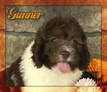 Gunner Male Miniature Newfypoo