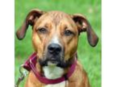 Adopt Dany a Tan/Yellow/Fawn - with Black American Staffordshire Terrier / Boxer