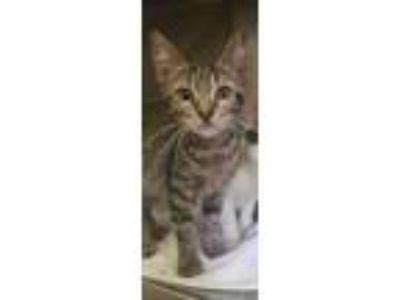 Adopt 2795 Evans Mill Rd 3 a Brown or Chocolate Domestic Shorthair / Domestic
