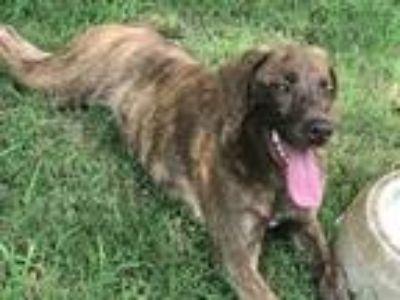 Adopt Dex a Brindle Plott Hound / Hound (Unknown Type) dog in Norman