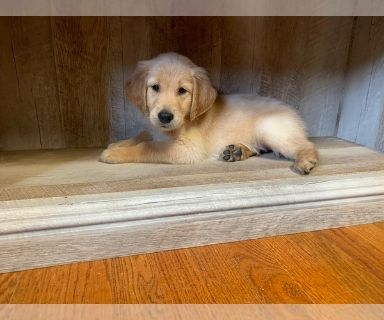 Golden Retriever PUPPY FOR SALE ADN-128267 - Beautiful AKC Golden Retriever Puppies