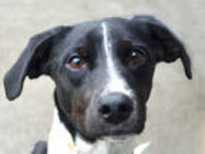 Adopt BLISS a Black - with White Border Collie / Pointer / Mixed dog in Denver