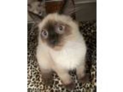 Adopt Chang a Cream or Ivory (Mostly) Siamese (short coat) cat in Oakdale