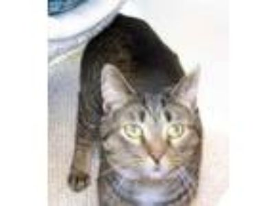 Adopt Christopher a Domestic Short Hair, Tabby