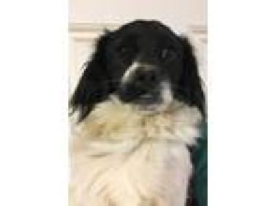 Adopt Oreo a Black - with White Terrier (Unknown Type, Small) / Mixed dog in