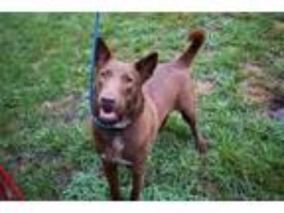 Adopt Artie a German Shepherd Dog, Labrador Retriever
