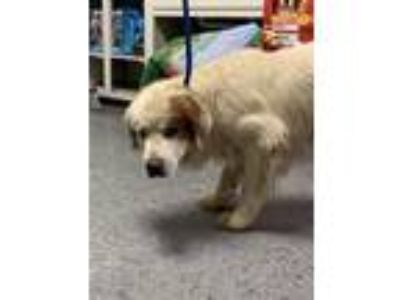 Adopt Buddy a Great Pyrenees, Spaniel