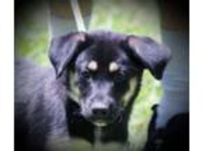 Adopt Ziti B a German Shepherd Dog, Husky