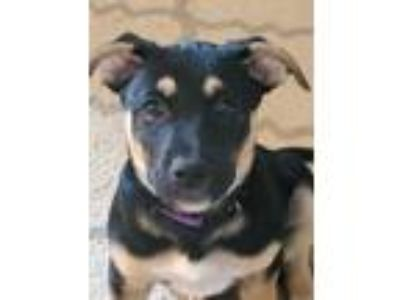 Adopt Lime Stanly a Labrador Retriever