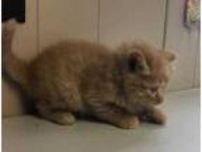 Adopt Kat a Orange or Red Domestic Longhair / Domestic Shorthair / Mixed cat in