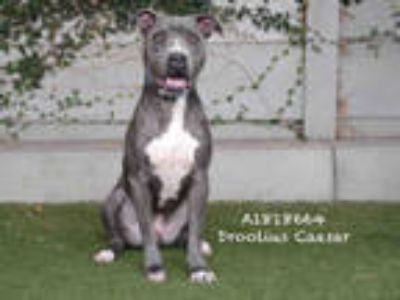 Adopt DROOLIUS CAESER a Gray/Silver/Salt & Pepper - with White Mixed Breed