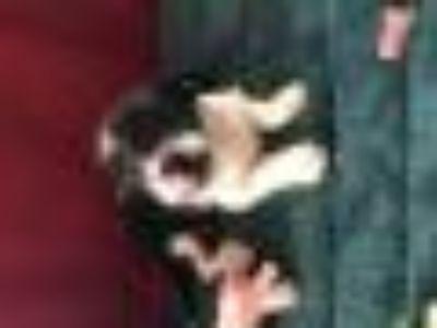GRACELYN Rat Terrier Dog