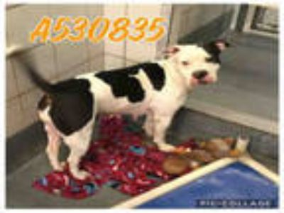 Adopt a White - with Black American Pit Bull Terrier / Mixed dog in San Antonio