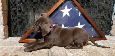 German Shorthaired Lab PUPPY FOR SALE ADN-107245 - German Shorthaired Lab Hybrids