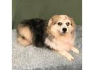 Adopt Dixie (Must be adopted with Maggie) a Tan/Yellow/Fawn Australian Shepherd