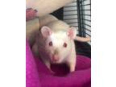 Adopt Crocus a Rat