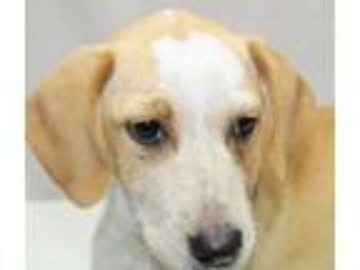 Adopt Tuffy a Tan/Yellow/Fawn - with White Labrador Retriever / Collie / Mixed