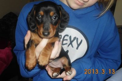 2 MINI DACHSHUND PUPPIES LEFT AND FOR SALE.