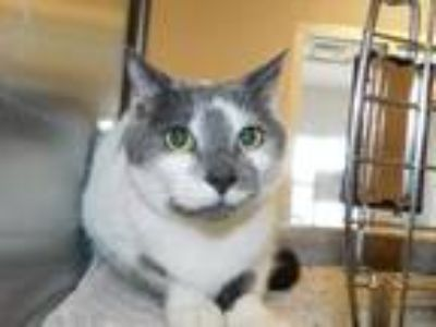 Adopt Jeter a Gray or Blue (Mostly) Domestic Shorthair / Mixed (short coat) cat