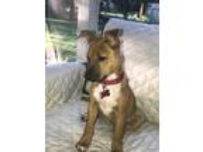 Adopt Penny Lane a Pit Bull Terrier / Boxer / Mixed dog in Boston, MA (25574355)