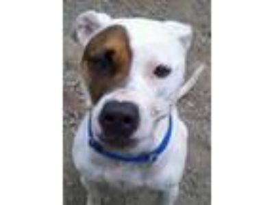 Adopt Zack a American Staffordshire Terrier