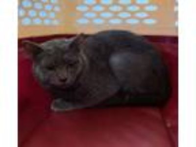 Adopt GOOSE BERRY a Domestic Short Hair