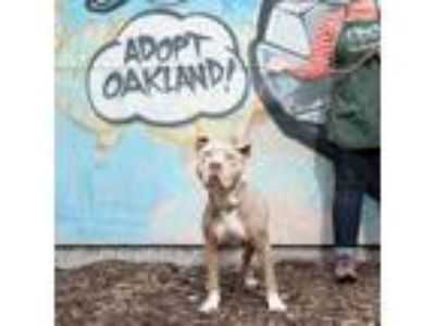 Adopt Homer a Tan/Yellow/Fawn - with White American Pit Bull Terrier / Mixed dog