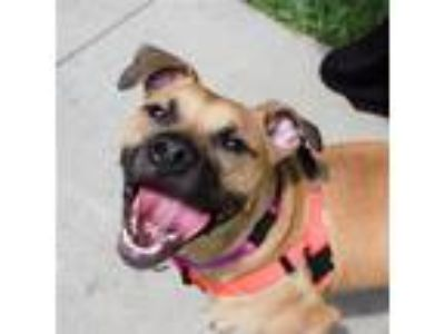 Adopt Dreamsicle a Pit Bull Terrier