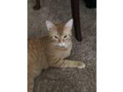 Adopt Daniel a Orange or Red American Shorthair / Mixed cat in Memphis