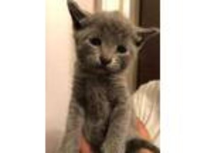 Adopt ADAM a Gray or Blue Domestic Shorthair / Domestic Shorthair / Mixed cat in