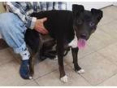 Adopt a Black - with White Australian Shepherd / Mixed dog in St.