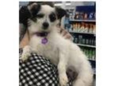 Adopt Sundae a White - with Black Terrier (Unknown Type, Medium) / Mixed dog in
