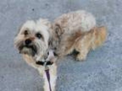 Adopt CESAR a Brown/Chocolate Poodle (Miniature) / Cairn Terrier / Mixed dog in