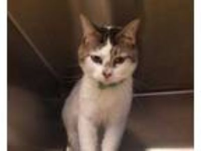 Adopt Jarvis a White Domestic Shorthair / Domestic Shorthair / Mixed cat in