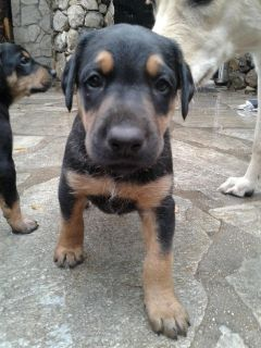 Doberman Goldendoodle Shepherd Mix Puppies