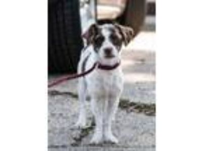 Adopt Melody a Terrier