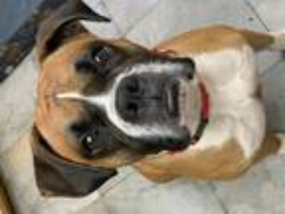 Adopt Bronx a Tan/Yellow/Fawn - with White Boxer / Mixed dog in Costa Mesa