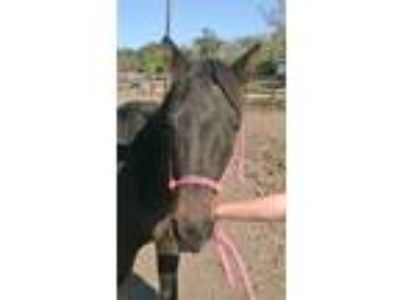 Adopt Kionna a Roan Mustang horse in Hitchcock, TX (16372976)