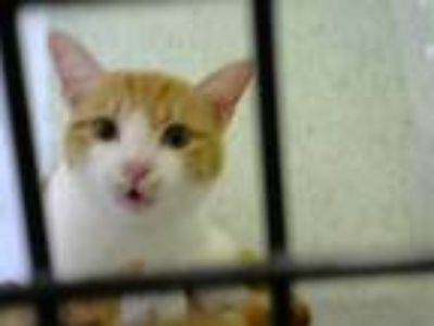 Adopt DUSTY a Domestic Short Hair